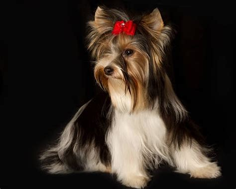 biewer parti yorkie 17 best images about yorkies on traditional yorkie puppies for