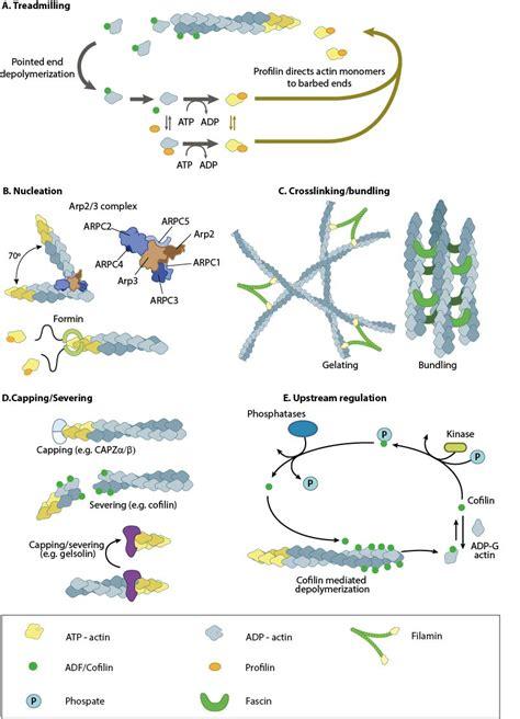 protein f aktin actin filament polymerization