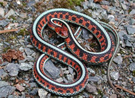 Garter Snake Snakes Sided Garter Snake