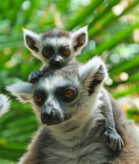 baby lemur baby lemur views the world photograph by margaret saheed