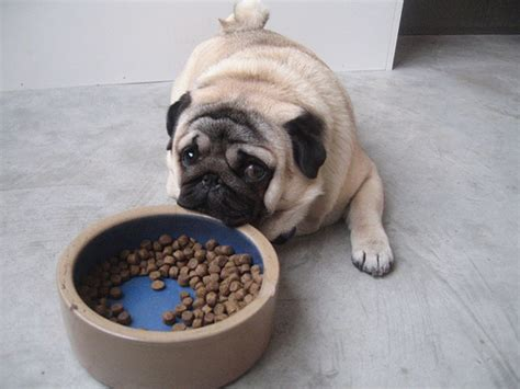 pugs and human allergies 10 flag ingredients what shouldn t be in your s food reflections