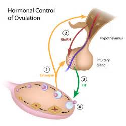 ovulation info on fertility drugs for ovulation