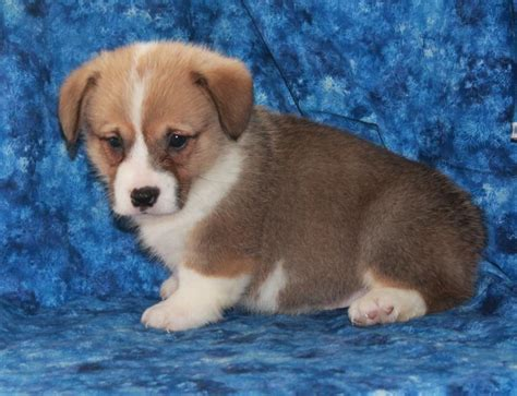 breeders websites intelligent corgi pembroke puppies craigspets