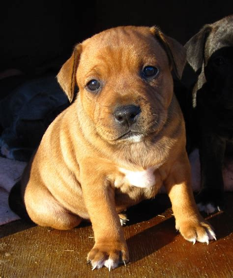 staffie puppies the world s catalog of ideas