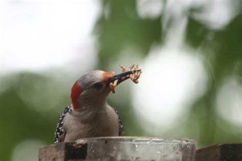 lake life red bellied woodpeckers eating mealworms