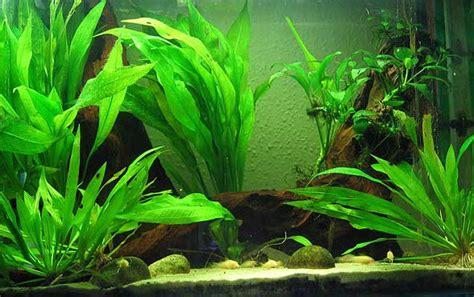 Lumut Karang Aquarium aneka tanaman hias air tawar untuk mempercantik aquarium