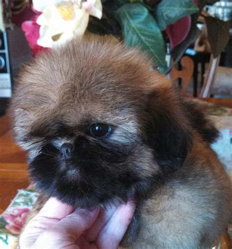 shih tzu show breeders buy show quality shih tzu puppy shih tzu puppies for sale