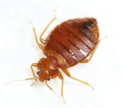 what keeps bed bugs away how ard life general blog