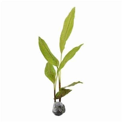 Bibit Tanaman Herbal Temu Lawak jual tanaman temu lawak bibit