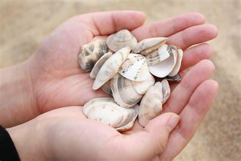 Kerang Laut Koleksi Fox Seashell gambar tangan pantai pasir pola makanan laut invertebrata kerang laut patung kulit