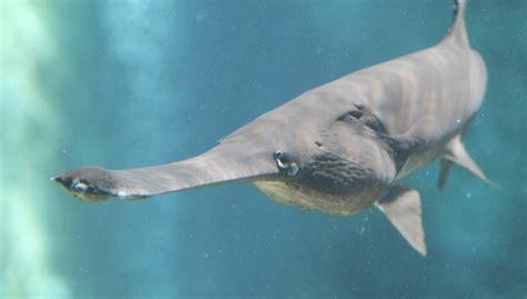 Polyodon Spathula image gallery mississippi paddlefish