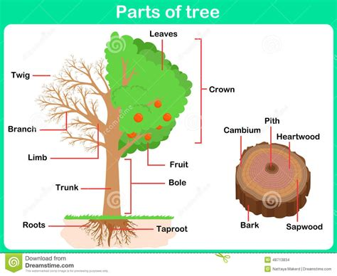 Parts Of A by Parts Of A Tree Clipart Clipartsgram