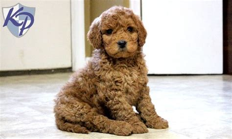 teddy puppies for sale in pa 1000 ideen zu goldendoodle miniature auf mini hunde goldendoodle und