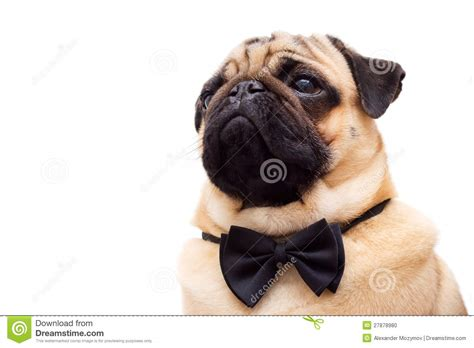 pug butterfly pug with tie butterfly stock photo image 27878980