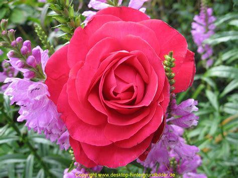 Blume Mit Weißer Blüte by Die 73 Besten Rote Hintergrundbilder