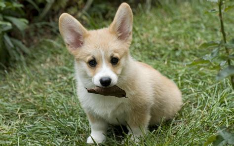 corgi dogs corgi wallpapers wallpaper cave