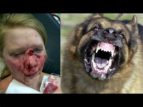 how to a german shepherd to attack german shepherd attacks german shepherd planet