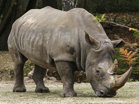 Gajah Putih 10 palu gada binatang terbesar di dunia