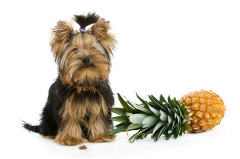 can puppies eat pineapple can dogs eat pineapple american kennel club
