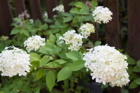 Hortensien Arten Und Sorten 3161 by Hortensien Im Garten Arten Pflege Und Standort