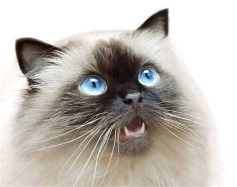 Swinging From Chandelier The Himalayan Cat Breed Size Appearance Amp Personality