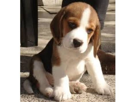 free puppies lafayette indiana beagle puppies animals lafayette indiana announcement 21826
