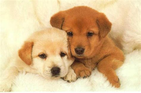 really really puppies hd animals really dogs and puppies