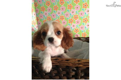 king charles cavalier puppies for sale near me cavalier king charles spaniel puppy for sale near chicago illinois 4f942e05 d571