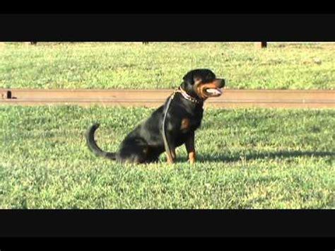 rottweiler schutzhund schutzdienst erzeugt keine gef 228 hrlichen hunde funnydog tv