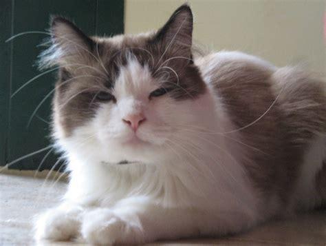 fotos de gatos gatos angora gemelos jpg pictures to pin on pinterest gatos y gatitos angora rasgos fisicos de los gatos angora
