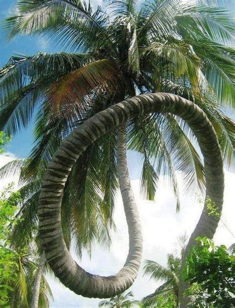 curved palm tree beach pinterest