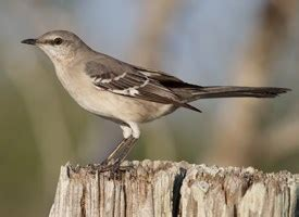 northern mockingbird sounds all about birds cornell