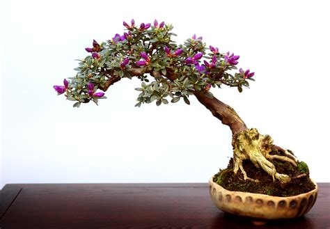 where to put a tree in a small room how to keep bonsai tree leaves small
