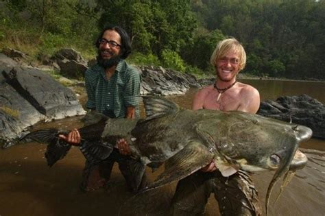 Ikan Lele Sale Ikan Lele Salai goonch catfish records largest goonch catfish