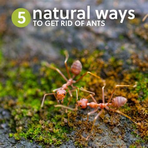 Safe Way To Get Rid Of Ants In Kitchen by 5 Ways To Get Rid Of Ants Naturally Without Killing Them