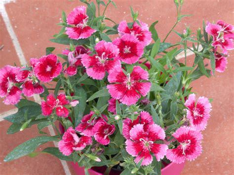 imagenes de flores de cempasúchil planta de flores rosas cuidar de tus plantas es