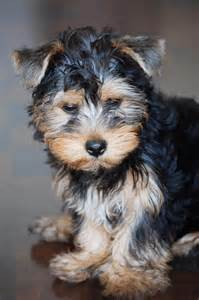 yorkie bloody diarrhea ask the vet aggressive yorkie may thyroid condition boston herald
