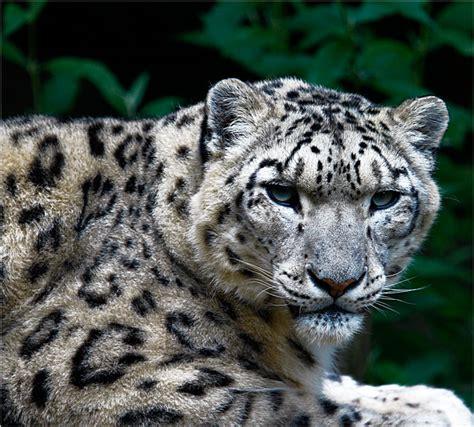 imagenes de onzas reales foto natura huesca leopardo de las nieves panthera uncia