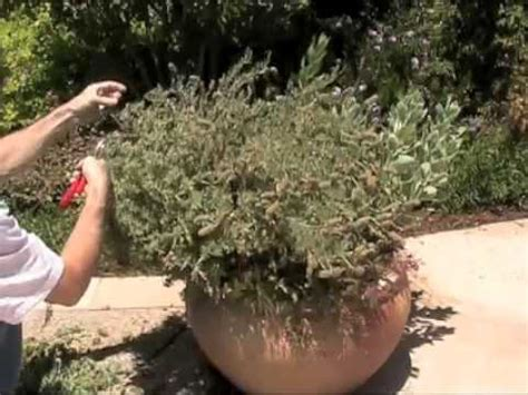 lavender spanish french maintenance youtube