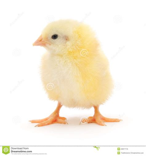 small chicken small chicken royalty free stock photo image 23877175