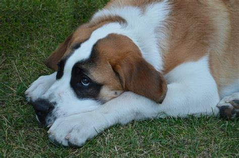 calmest breeds 4 best calm breeds that are suitable to be your friend at home