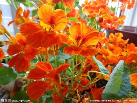 Harga Murah Lotus Seed Benih Bunga Teratai Flower Biji Tanaman Air kering lotus flower beli murah kering lotus flower lots