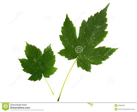 maple tree leaf arrangement acer leaves isolated on a white background stock photo cartoondealer 14399160