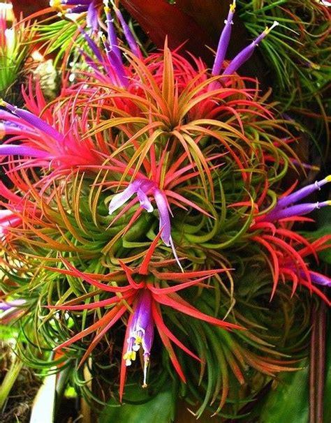 tillandsia ionantha tillandsia bromeliads air plants pinterest