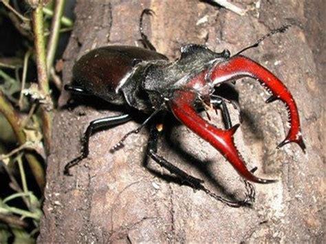 coleotteri volanti biodiversit 224 in cagna un piccolo gigante in pericolo