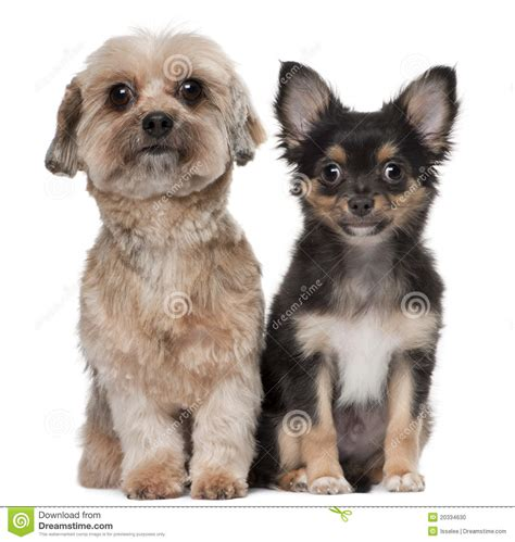 shih tzu chihuahua prices shih tzu and chihuahua stock photo image 20334630