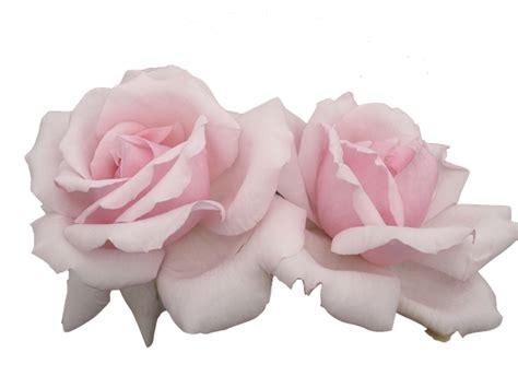 transparent rose www pixshark com images