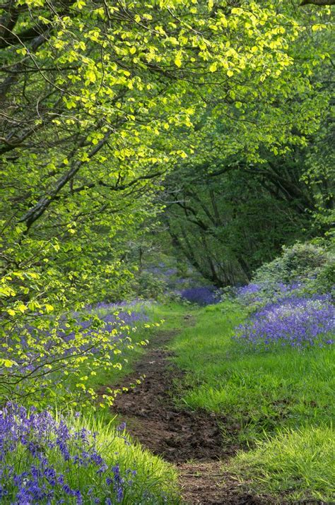 Wood From The Uk by Flisteridge Wood Bluebells Malmesbury Wiltshire