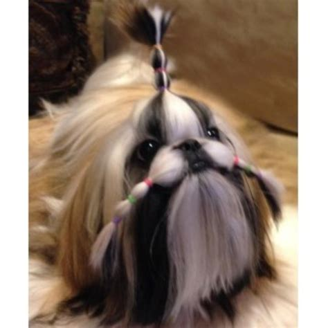 shih tzu stud near me shih tzu shih tzu breeder in green lake wisconsin