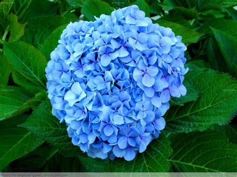 imagenes unicas y bellas el color de las hortensias eljardindemaruylola esel